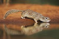 Mexican Ground Squirrel (Spermophilus mexicanus), adult drinking, Sinton, Corpus Christi, Coastal Bend, Texas, USA