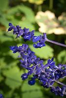 Salvia farinacea mealycup sage blue annual garden flowers