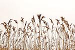 Reeds on Belle Isle Inlet, Boston, Massachusetts, USA