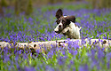2015_04_20_bow_wood_bluebells