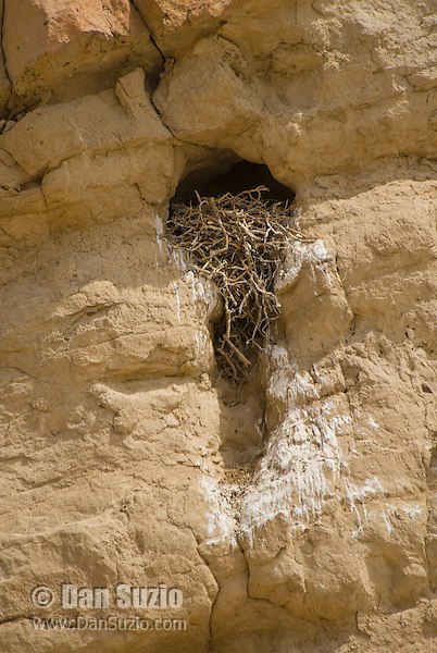 Nest of common raven, Corvus corax, Red Rock Canyon State Park, California