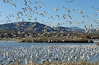 Geese in flight at Bosque Del Apache NWR