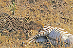 Cheetah Eating Dead Zebra