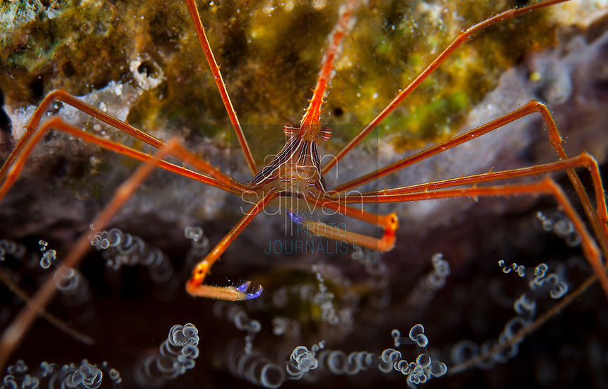 Yellowline arrow crab (Stenorhynchus seticornis) among corkscrew anenome (Bartholomea annulata) at Deep Sea Quest scuba dive site; Roatan, Bay Islands, Honduras.<br /> <br /> Higher-resolution file deliverable upon request.
