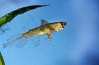 Afrikanischer Schmetterlingsfisch, Pantodon buchholzi, freshwater butterflyfish, African butterflyfish, Le Poisson-papillon d'eau douce