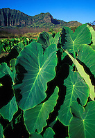 Dry land kalo (taro) at Kaala Farms, with the Waianae Mountains in the background, Waianae, Oahu