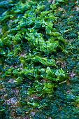 Lipahapaha (or limu pahapaha, sea lettuce, seaweed) at Polihale Beach, Kaua'i.