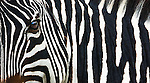 Zebra portrait, Ngorongoro Conservation Area, Tanzania