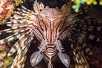Lionfish lying in wait for prey.