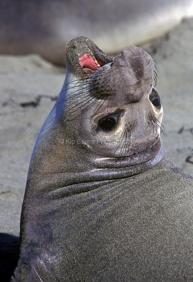 Close-up of female Northern Elephant Seal, Mirounga angustirostris