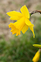 Daffodil (Narcissus 'Golden Lady'), a Division 1 Trumpet variety, mid February.