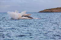 A magnificent humpback whale falls back into the ocean with a giant splash following a graceful breach in Ma'alaea Bay, West Maui.