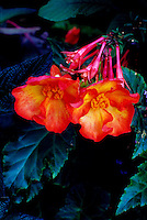 Close-up of orange-red Begonia x tuberhybrida flowers agains leaves, at dusk, Stanley Park, Vancouver, BC