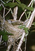 Mönchsgrasmücke, brütendes Weibchen im Nest, Mönchs-Grasmücke, Grasmücke, Sylvia atricapilla, blackcap