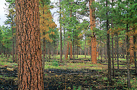 Ponderosa pine forest after thinning and burning treatments at Fort Valley Forest Restoration Project, Plot #12, Coconino National Forest, Flagstaff, Arizona, AGPix_0277.