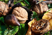 Fresh Walnuts ; fallen ; harvest ; walnut ; walnuts ; ripe ;