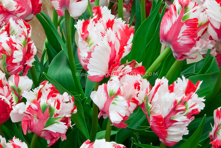 Red, white, green Tulip Estella Rynveld in Christmas holiday colors for greeting card