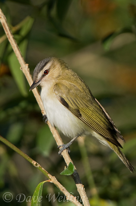 590690006 a red-eyed vireo vireo olivaceous a migratrory sonbgird perches on a tree limb on south padre island texas