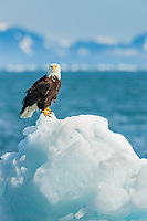 Bald eagle on iceberg, northern Prince William Sound, southcentral, Alaska