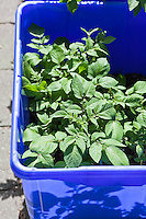 Potato plants growing in a container garden made from blue plastic recycing boxes.