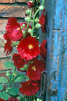 Bold flowers of Red hollyhocks against blue door and brick wall Alcea rosea in summer bloom