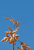 362800007 a wild male variegated meadowhawk dragonfly sympetrum corruptum perches on a small limb in pahranagat national wildlife refuge nevada united states