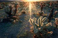 The first rays of sunlight skimming the desert floor almost make the spines of Cholla cactus appear soft and inviting.