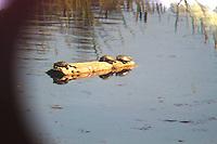 Western Pond Turtles viewed through a telescope in lakewood, Washington.