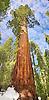 Sequoia, Mariposa Grove, Yosemite