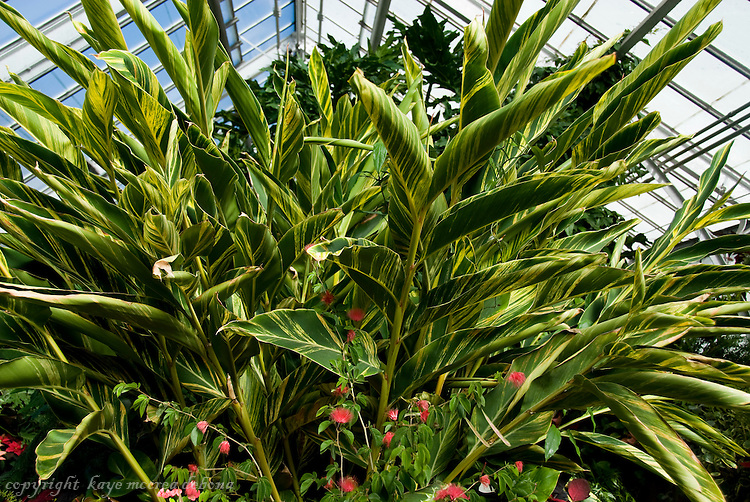 Variegated shell ginger alpinia zerumbet variegata kaye - Plantas resistentes al sol ...