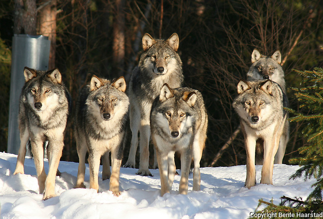 The wolves at Namsskogan Familiepark, Norway. The alpha pair Tuva and Fenris and their 15 pups.