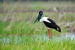 Black-necked stork, Kakadu National Park, Australia