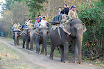 Mahout Man & Tourists riding Asian Elephants for game viewing, Elephas maximus, Corbett National Park, Uttarakhand, Northern India, ride, line, tourism, domestic.India....