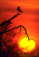 51158013 A wild northern crested caracara caracara cheriway silhouetted at sunset perched on a dead tree in the Rio Grande Valley, Texas.