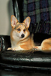 pembroke welsh corgi Shopping cart has 3 Tabs:<br /> <br /> 1) Rights-Managed downloads for Commercial Use<br /> <br /> 2) Print sizes from wallet to 20x30<br /> <br /> 3) Merchandise items like T-shirts and refrigerator magnets