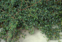 Cotoneaster salicifolius 'Repandens' aka 'Repens' Quezza Selection (Emerald Carpet Willowleaf Cotoneaster), groundcover with small foliage