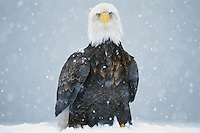Bald Eagle (Haliaeetus leucocephalus) standing on ground during snowstorm--eagles seem to hate to fly while it is snowing heavily.