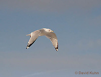 0711-0810  Flying Ring-billed Gull, Larus delawarensis © David Kuhn/Dwight Kuhn Photography