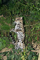 Margay Cat (Leopardus wiedi) female standing on hind legs.