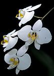 Phalaenopsis Orchid, Amadills sp. National Flower of Sabah, Borneo, white.Borneo....