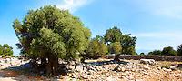 Lunjski Maslinici, Olive trees of Lun -  Pag  island,  Croatia