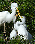 Great Egret mom and chicks, Osceola County, Florida