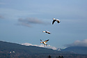 WA08116-00...WASHINGTON - Snow geese circling above Fox Island in the Skagit River Delta.