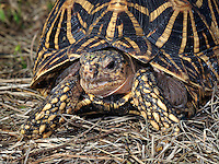 Indian Star Tortoise (Geochelone elegans), captive.