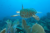 Turtle<br /> U.S. Virgin Islands