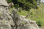 Family of sheep walking on rocky cliff in Montana