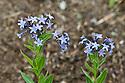 Amsonia orientalis, end June.