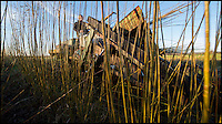 BNPS.co.uk (01202 558833)<br /> Pic: PhilYeomans/BNPS<br /> <br /> Richard Roberts bespoke willow cutter gets to work...<br /> <br /> One ancient tradition has benefitted from the watery travails of the Somerset levels this year - The annual willow harvest has just begun, with the fast growing tree's putting on 9 feet of growth this year in the damp soil.<br /> <br /> Untill the second war over 3000 acres of the precarious landscape were producing 'Black Maul', the local name for Salix triundra, as they had for thousands of years. <br /> <br /> Farmer Richard Roberts has one of the last surviving willow beds on his farm at the famous battlefield of Sedgemoor in the heart of the levels.<br /> <br /> But despite the drastic reduction in demand as plastic bags and containers took over, his business is now booming as traditional woven products like panniers, baskets and even coffins come back into fashion.<br /> <br /> 'Willow weaving must have been one of the first skills learned by prehistoric man' say's Richard 'And its fantastic that it still has a use in the twenty first century'.
