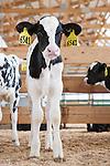 20130612 Dairy Calves