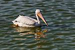 White Pelican, Bolsa Chica State Beach, CA.